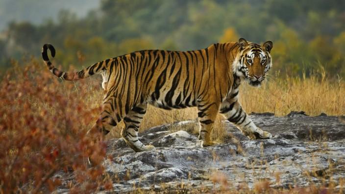 Tiger Bandhavgarh National Park Madhya Pradesh India PUBLICATIONxINxGERxSUIxAUTxHUNxONLY MINTxIm