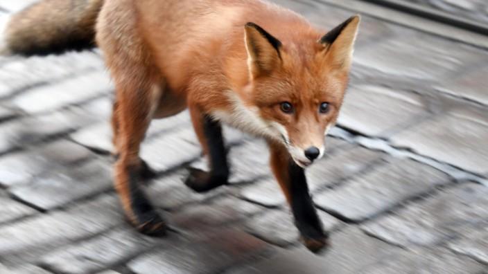 Fuchs vorm Regierungspalast