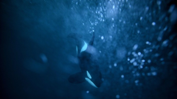 Caring killer whale grandmas help calves survive