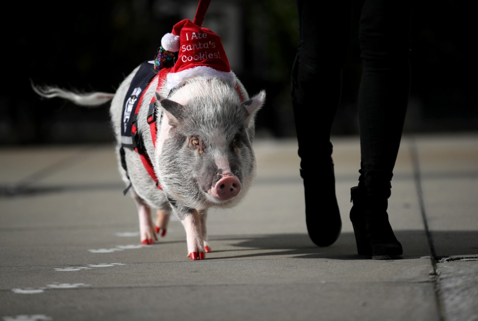 Therapy Pig Eases Passengers' Travel Anxieties At San Francisco Airport