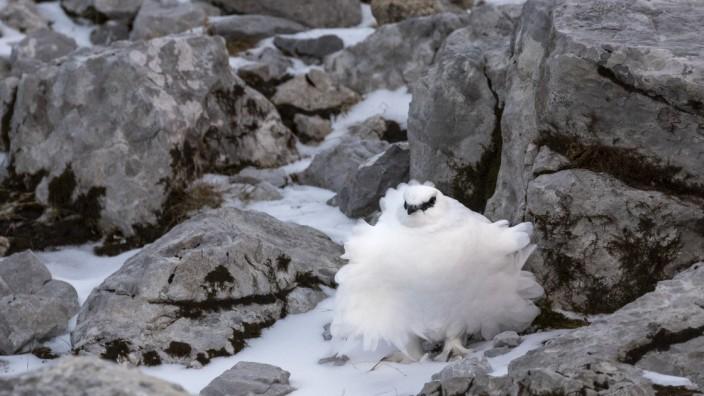 Aufgeplustertes Schneehuhn im Winterkleid