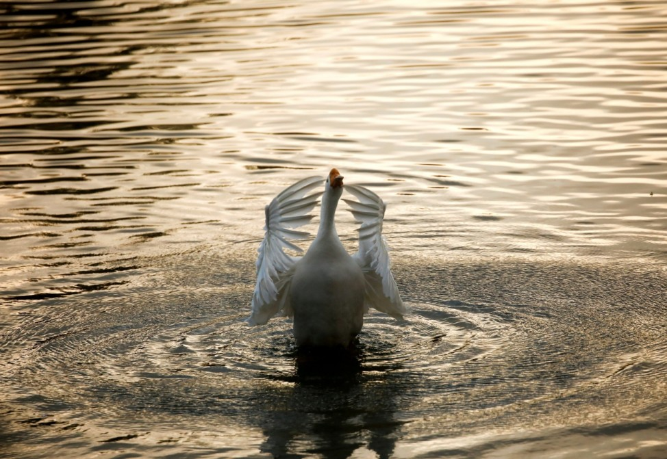 A swan flaps its wings during the sunset on the pond at the Central Zoo in Lalitpur