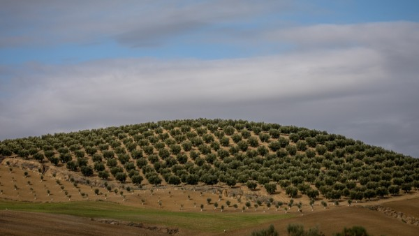 Olive Oil Production At Borges International Group