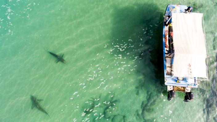 Haie tummeln sich vor Israels Küste