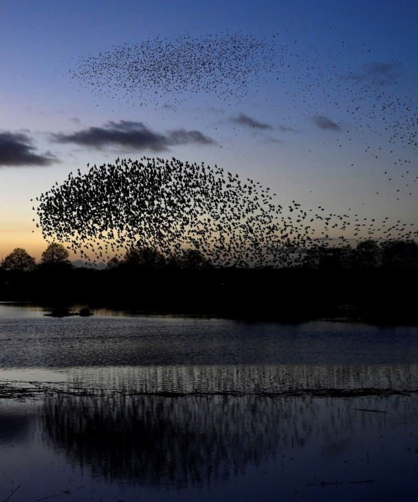 Murmurations are seen at dusk as thousands of starlings return to roost on Somerset Levels