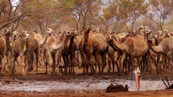 Wilde Kamele in Australien