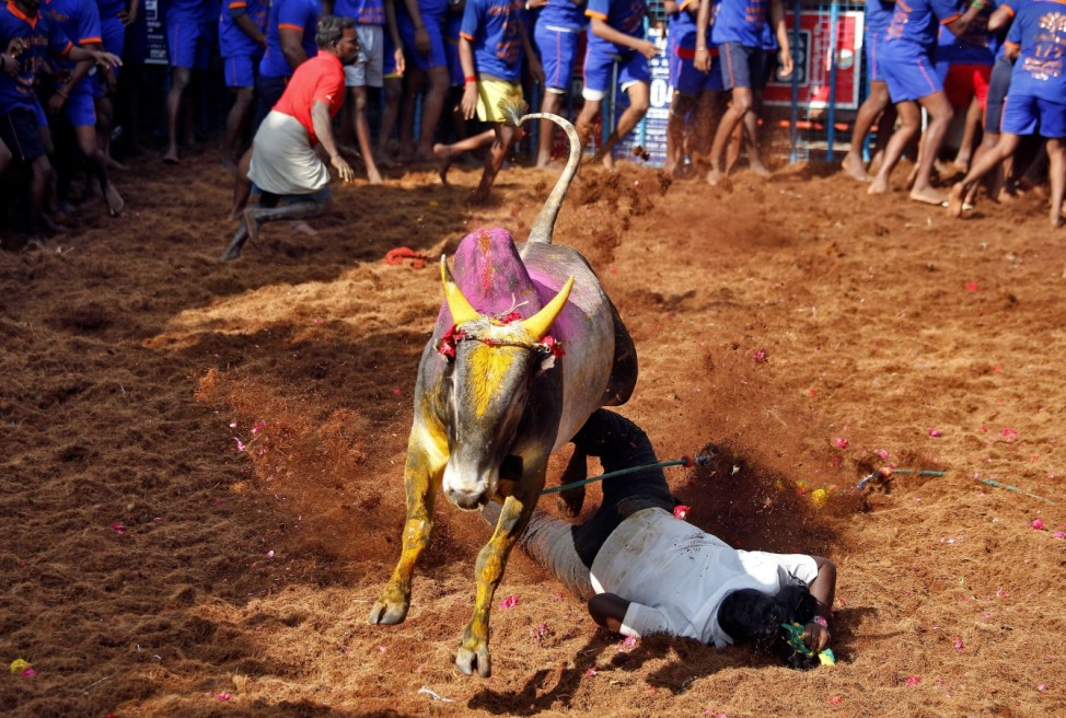 A bull jumps over a villager during a bull-taming festival on the outskirts of Madurai town