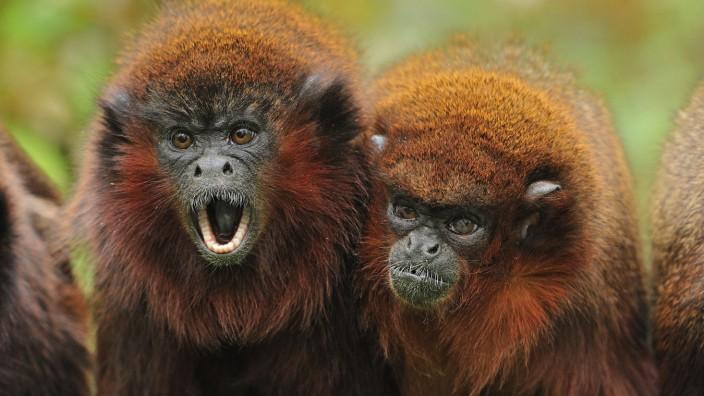 Coppery Titi / Red Titi Monkey - calling (Callicebus cupreus). Brazil. controlled conditions. PUBLICATIONxINxGERxSUIxAUT