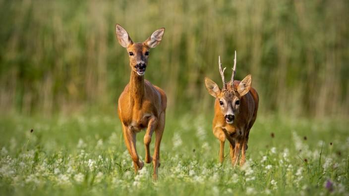 Roe deer capreolus capreolus buck and doe during rutting season PUBLICATIONxINxGERxSUIxAUTxONLY