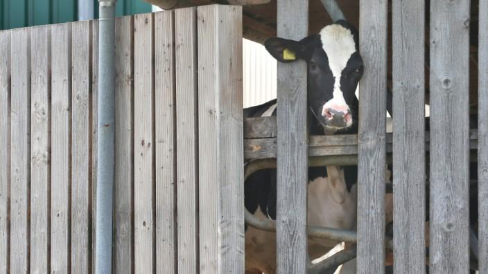 Kreisbehörde kündigt Tierhaltungsverbot für Rinderhalter an