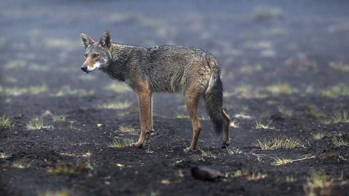 Kojote in Costa Rica