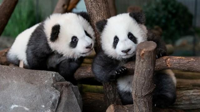 Die Pandabären Pit und Paule im Berliner Zoo