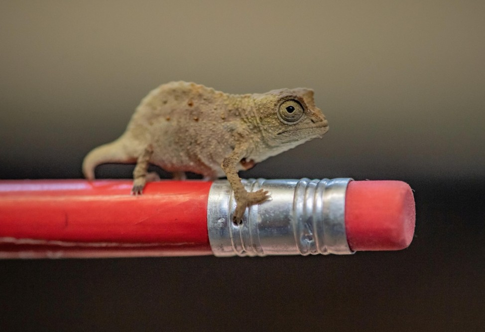 A tiny 'fingertip-sized' pygmy chameleon is seen at Chester Zoo