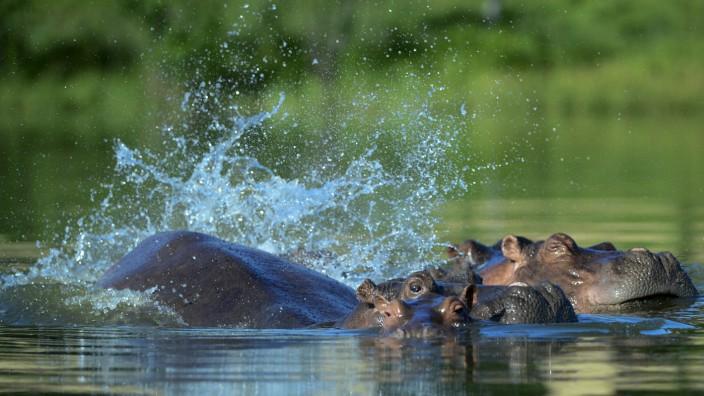 Ökologie: Perfekte Bedingungen: In den Gewässern Kolumbiens haben Flusspferde alles, was sie benötigen - und vor allem keine Feinde.
