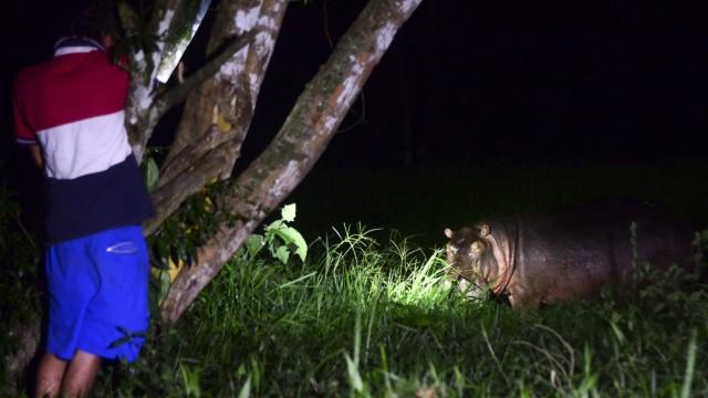 Ökologie: Ein Nilpferd beim Fressen in der Nähe des ehemaligen Privatzoos von Kartell-Chef Pablo Escobar.