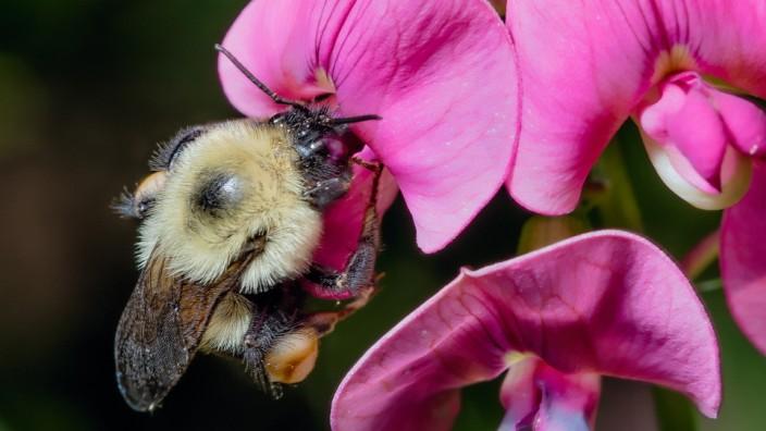 Insektenschwund: Eine Hummel der nordamerikanischen Art Bombus impatiens