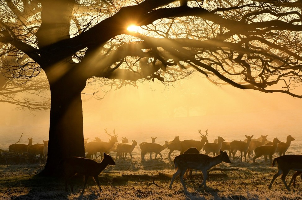 Deer are seen grazing in the early morning light at Richmond Park in London, Britain