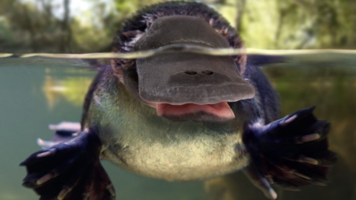 Platypus or Duck-billed platypus, Omithorhynchus PUBLICATIONxINxGERxSUIxAUTxONLY Copyright: PauloxdexOliveira 12479512