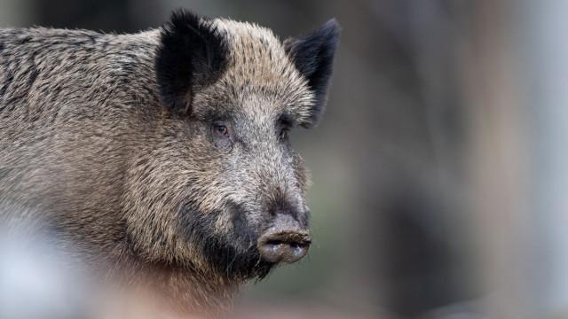 Angst vor afrikanischer Schweinepest