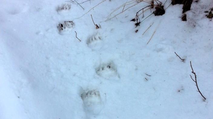 Spuren des Braunbären im Schnee gesichtet