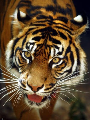 Tiger, dpa