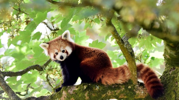 FILE PHOTO: A one year old Red Panda sits in the trees having only recently arrived to a brand new enclosure at the Manor Wildlife Park, St Florence, near Tenby in Wales,