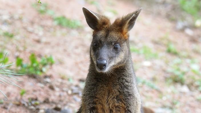 Känguru-Nachwuchs im Erlebnis-Zoo Hannover