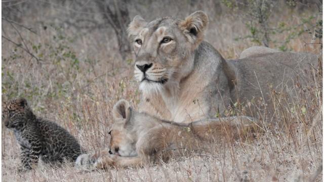 Löwin adoptiert Leopard