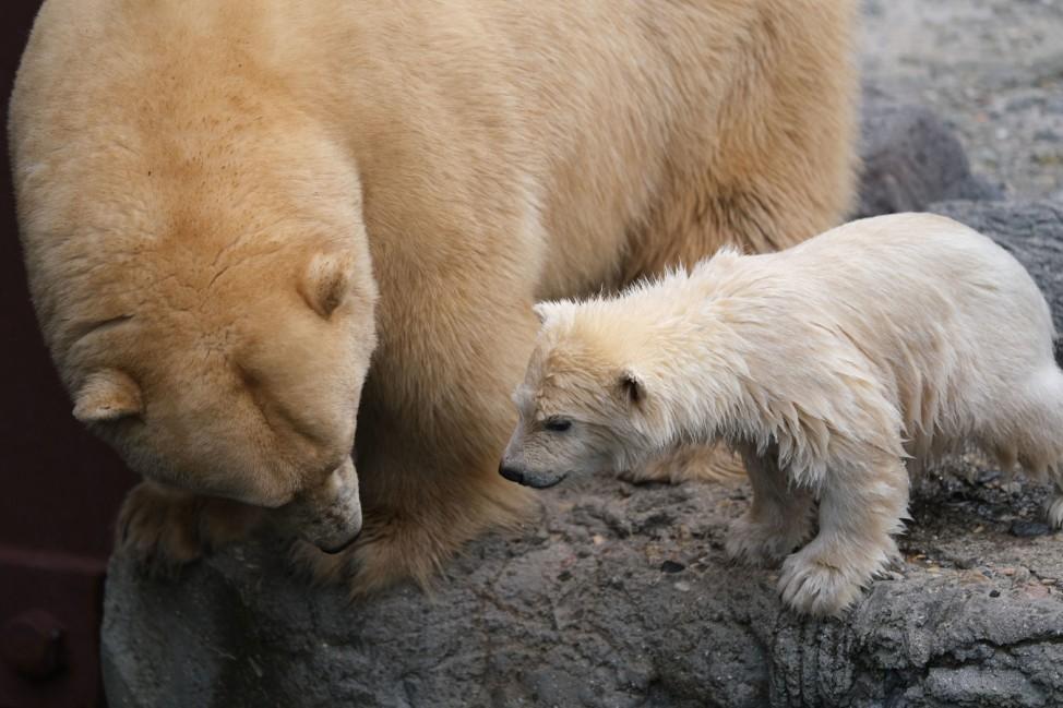Eisbärnachwuchs macht ersten Ausflug in den Zoo-Außenbereich