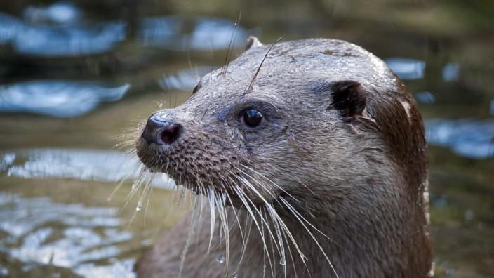 Regierung der Oberpfalz erlaubt Tötung einzelner Fischotter