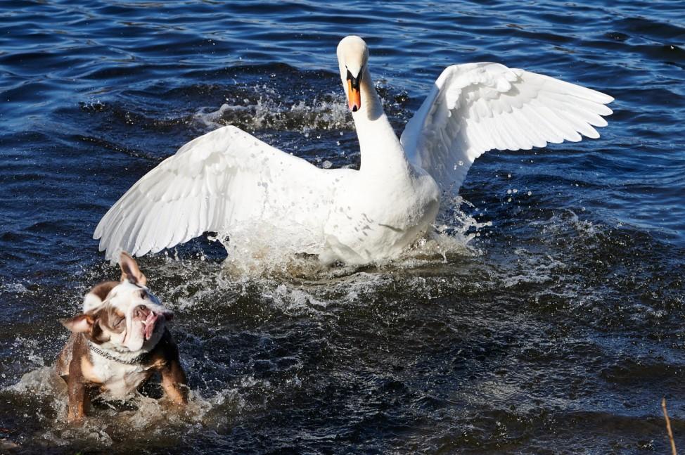 Hund trifft auf Schwan