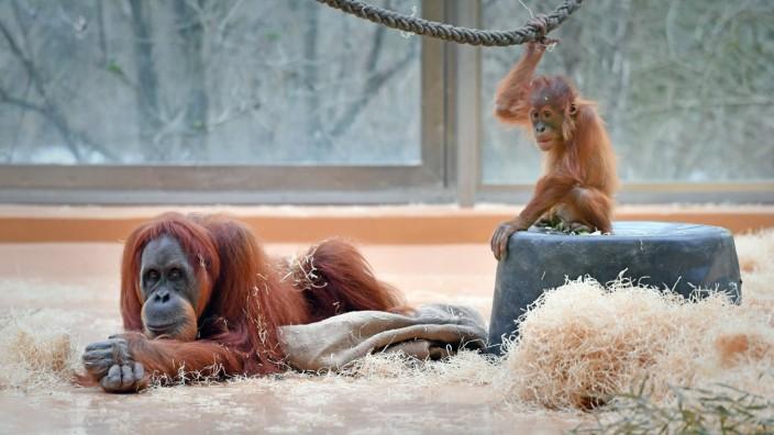 Ein Sumatra Orang Utan Weibchen liegt gelangweilt auf dem Boden waehrend ihr Orang Utan KInd Baby s