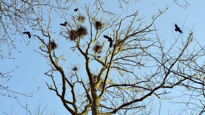 Krähenplage in Dachau: Saatkrähen sorgen nicht nur in Dachau für Unruhe. Auch wie hier im Erdinger Stadtpark fühlen sich die Vögel äußert wohl.