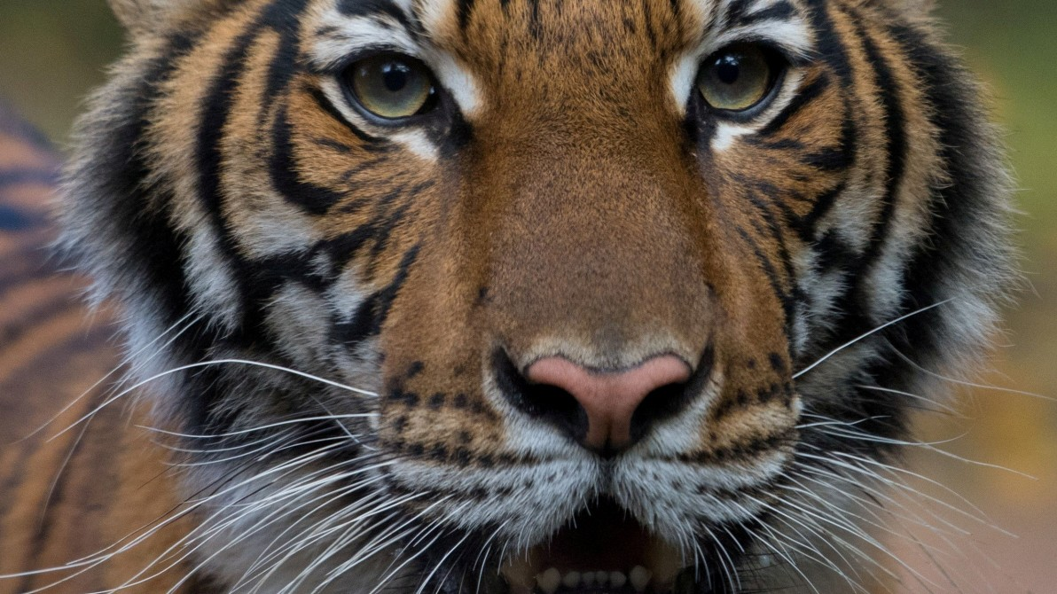 Tiger in New Yorker Zoo mit Coronavirus infiziert