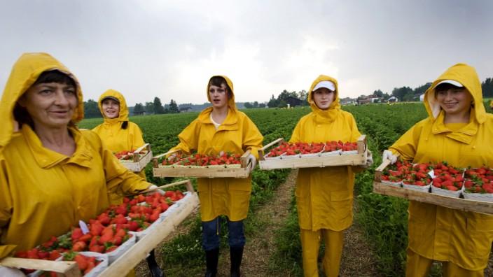 Aying, Faistenhaar, Erdbeerplantage von Lang, Erntehelfer beeilen sich vor dem Gewitter,