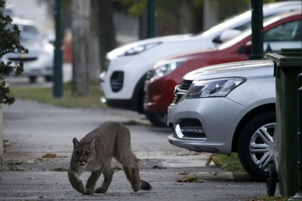 Santiago, 24 de marzo de 2020. Un puma de aproximadamente 25 kilos y un ano de edad se encuentra rondando en las cercani; Puma
