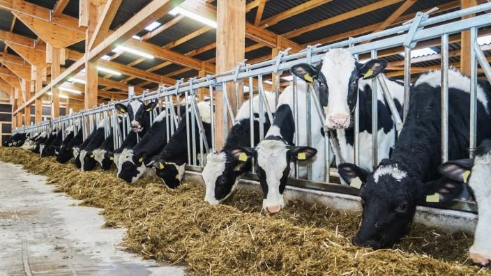 Landwirtschaftliche Motive - Rinder fressen Silage in einem modernen Rindviehaufzuchtstall. Neu erbauter, moderner Rindv