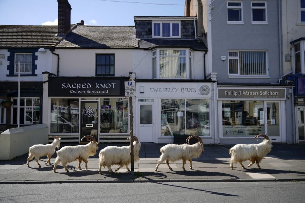 ***BESTPIX*** Goats Roam Welsh Town As Coronavirus Lockdown Empties Its Streets