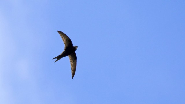 Common Swift and cloud Common Swift, blue sky and cloud PUBLICATIONxINxGERxSUIxAUTxONLY Copyright: xSueRobx 1039934