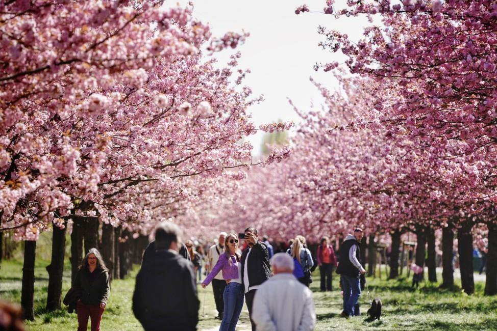 Kirschblüte in Teltow