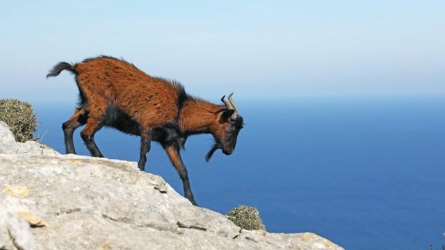Hausziege, Haus-Ziege (Capra hircus, Capra aegagrus f. hircus), ueber Felsen laufend, Seitenansicht, Spanien, Balearen,