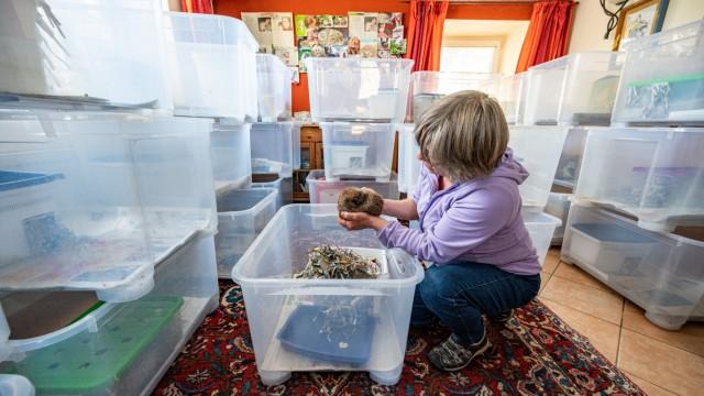 Heißhunger nach Winterschlaf - 170 Igel erwachen in Tierstation