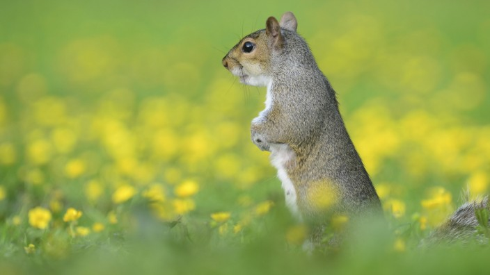 Grey squirrel (Sciurus carolinensis) standing alert amongst buttercups. Dorset, UK. PUBLICATIONxINxGERxSUIxAUTxONLY 1561