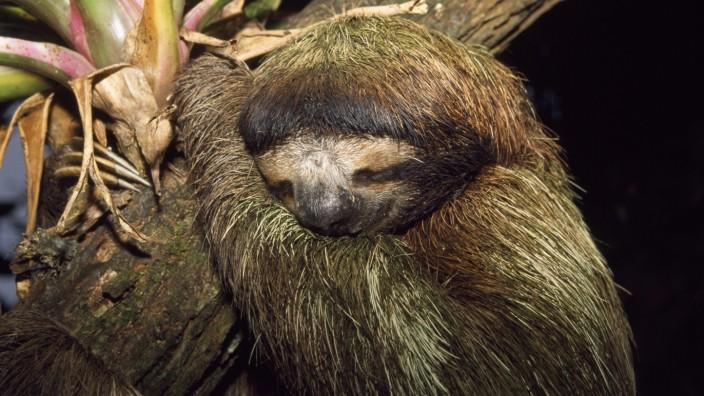 Brown-throated 3-Toed Sloth - sleeping (Bradypus variegatus). Costa Rica. PUBLICATIONxINxGERxSUIxAUTxONLY Copyright: M.x