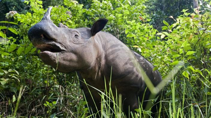 Sumatran rhinoceros - standing in forest (Dicerorhinus sumatrensis). Way Kambas National Park, Lampung Province, souther