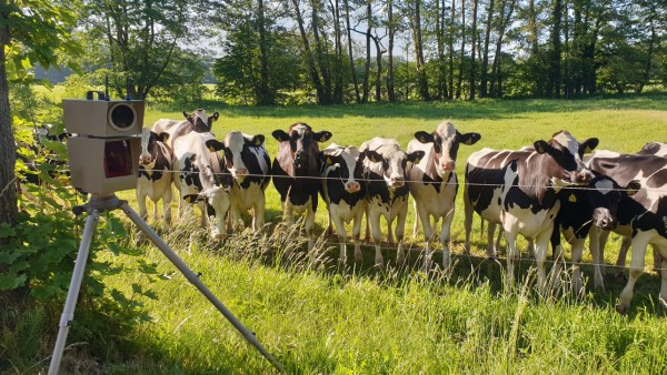 Blitzlicht lockt Rinder: Tierische Augenzeugen bei Tempokontrolle
