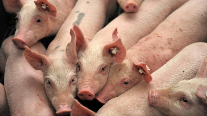 Tierwohllabel: Hohe Kosten allein bei Schweinefleisch