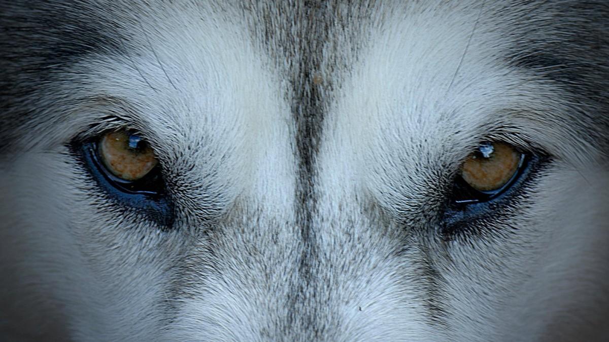 Wölfe in Bayern: Das zweite Rudel