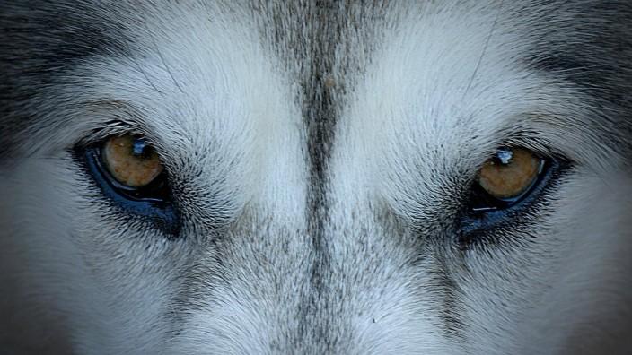 wolfsblick PUBLICATIONxINxGERxSUIxAUTxONLY Copyright xMuffinmanx Panthermedia00392293