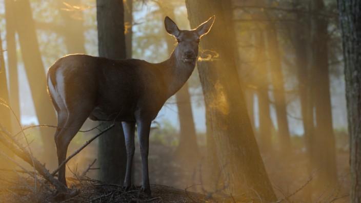 Rothirsch (Cervus elaphus) Weibchen im Morgennebel, Nordrhein-Westfalen, Deutschland *** Red deer Cervus elaphus female